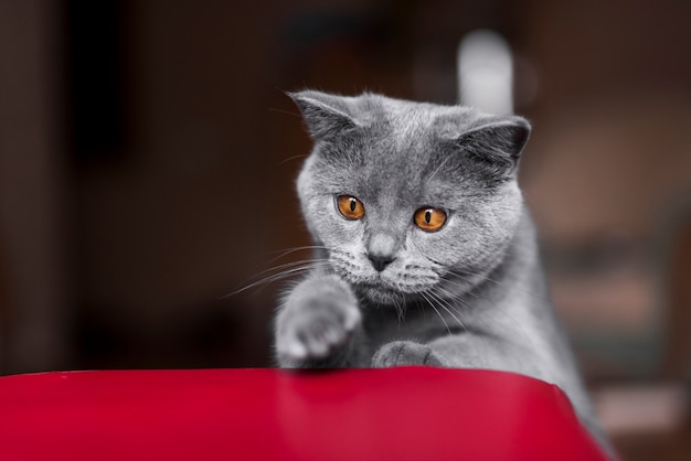 Frontowy widok szary brytyjski shorthair kot