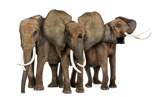 Frontowy widok trzy afrykańskiego słonia stawia czoło, stojący, odizolowywający na bielu