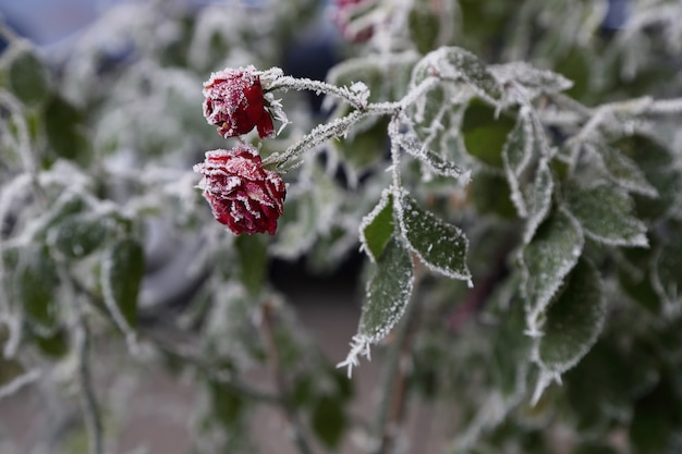 Frost covered roses.