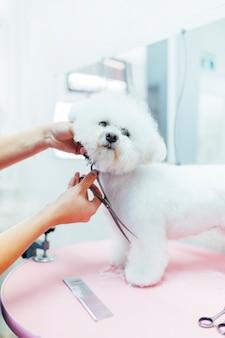 Fryzjer pielęgnuje pięknego białego pudla królewskiego