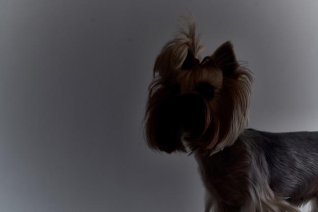 Fryzura psa rodowodowego dla zwierząt studio