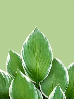 Funkia hosta, lilie babki na zielonym tle