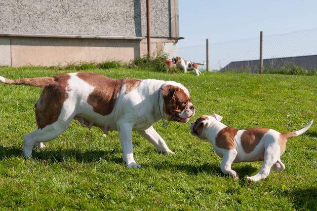 Funny american bulldog puppy z matką dorosłego psa