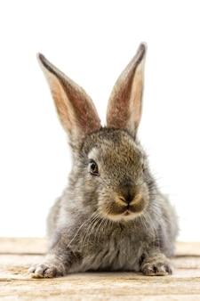 Furry ładny królik na białym tle