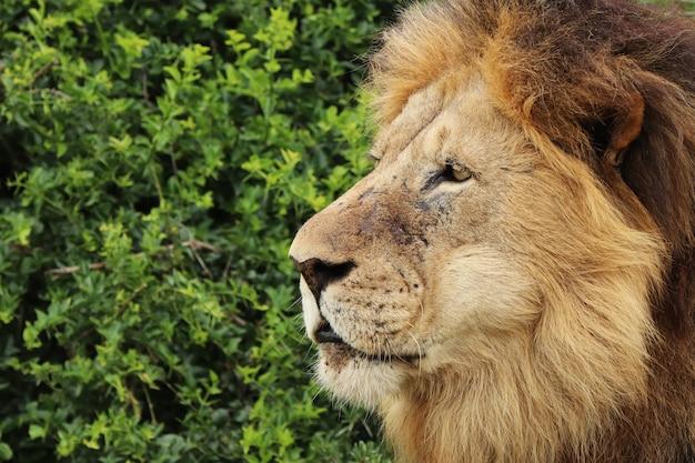 Furry lion walkingo w parku narodowym w ciągu dnia