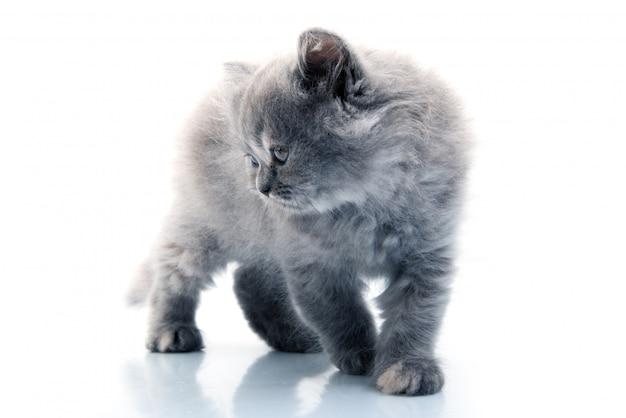 Furry mały kot
