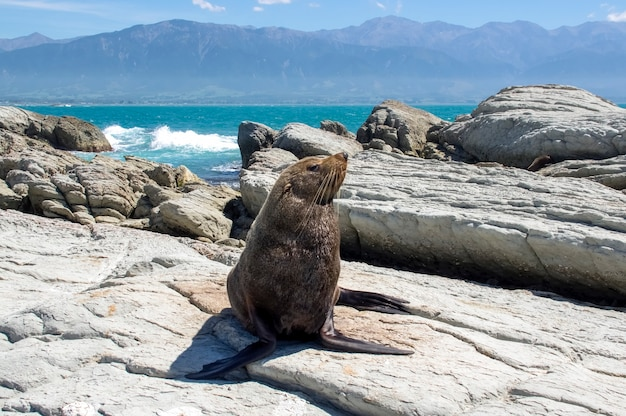 Futro foka. kaikoura. nowa zelandia