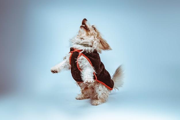 Futrzany pies z ubraniami skaczącymi szczęśliwy
