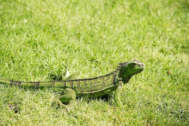 Gad jaszczurka zielona w słoneczny letni dzień siedzi w trawie na naturalnym tle