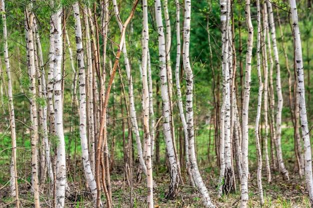Gaj brzozowy w lesie białorusi strzał z bliska