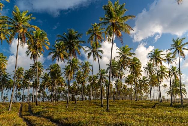 Gaj kokosowy plaża forte w pobliżu salvador bahia brazylia tropikalny krajobraz