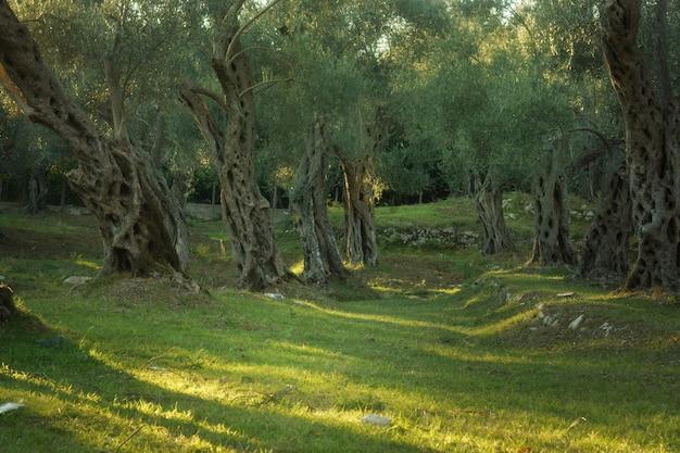 Gaj oliwny ze starymi drzewami, zachodzące słońce podkreśla pnie i korony.