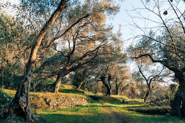 Gaje oliwne i ogrody oliwne