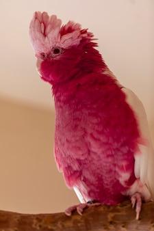 Galah (eolophus roseicapilla), znana również jako różowa i szara, jest jedną z najczęstszych i najbardziej rozpowszechnionych kakadu.