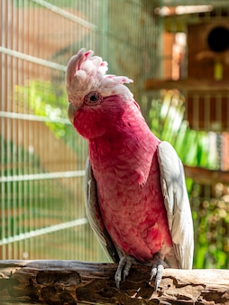 Galah (eolophus roseicapilla), znany również jako różowo-szary, jest jednym z najpospolitszych i najbardziej rozpowszechnionych kakadu.