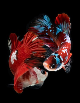 Galanteryjna koja galancy betta fish.