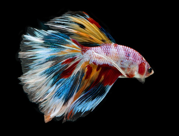 Galanteryjny kolor betta fish.