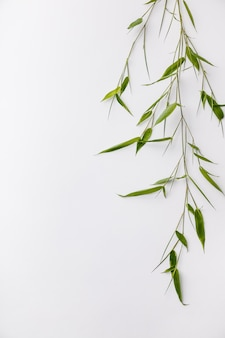 Gałąź bambus na białym tle