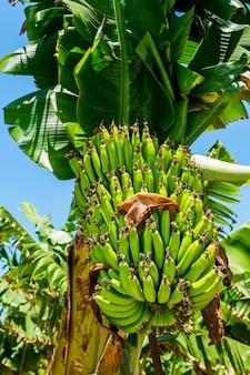 Gałąź banany na drzewie