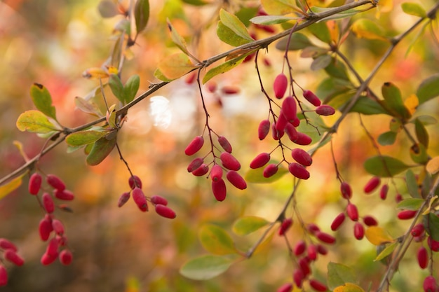 Gałąź berberysu z małymi dojrzałymi czerwonymi jagodami