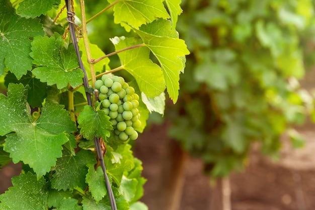 Gałąź białych dojrzałych winogron z dużymi soczystymi winogronami. krzewy winogron przed zbiorami. jesień w ogrodzie to czas zbiorów.