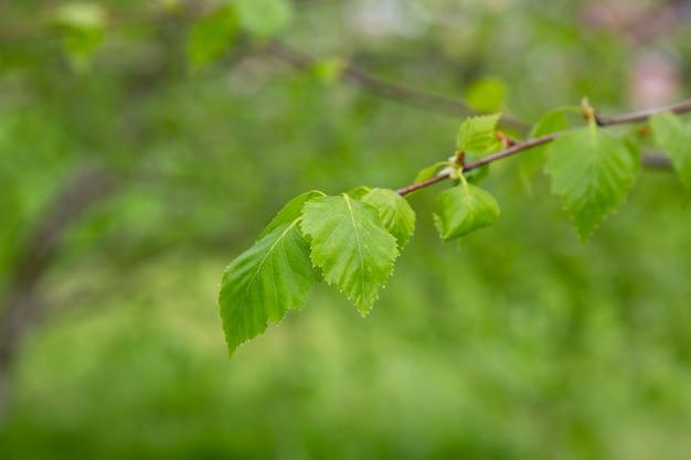 Gałąź brzozy betula pendula, brzoza brodawkowata, brzoza brodawkowata, brzoza biała z młodymi zielonymi liśćmi, wiosna
