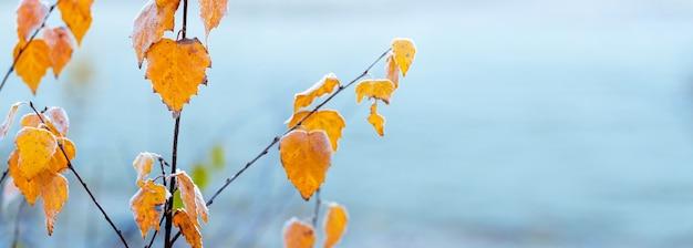 Gałąź brzozy z suszonymi mrozem liśćmi na jasnoniebieskim tle, kopia przestrzeń