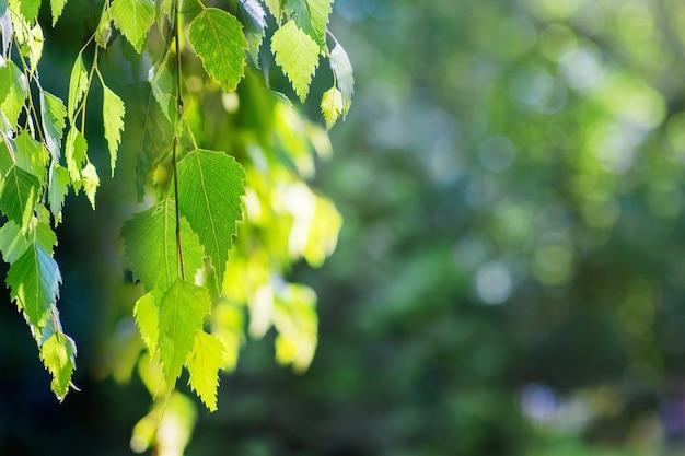 Gałąź brzozy z zielonymi liśćmi na ciemnym rozmytym tle przy słonecznej pogodzie
