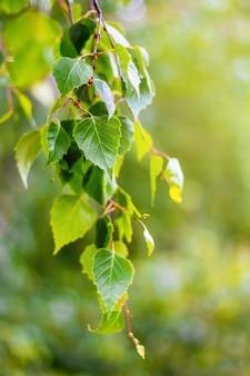 Gałąź brzozy ze świeżymi liśćmi wiosną lub latem. tło z jasnozielonymi liśćmi brzozy