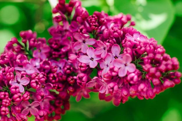 Gałąź bzu kwitnących wiosną na tle zieleni.