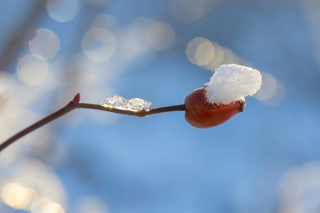 Gałąź choinki ze śniegiem, zimowa bajka, dzika róża na śniegu