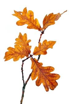 Gałąź dębu z jesiennych liści na białym tle
