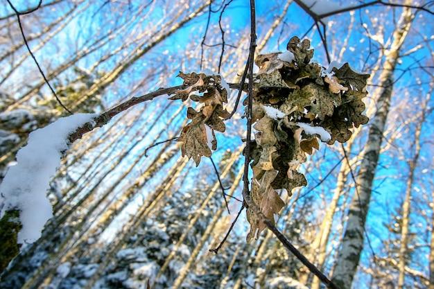 Gałąź dębu z liśćmi w lesie zimą. śnieg na gałęzi i liściach. niebieskie niebo. selektywna ostrość, rozmyte drzewa na tle.
