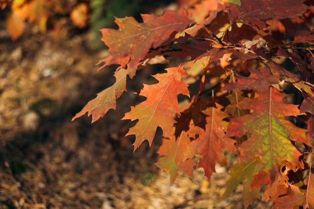 Gałąź dębu z pomarańczowymi liśćmi w lesie jesienią. tle przyrody.
