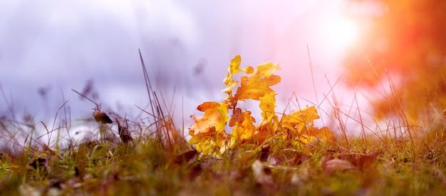 Gałąź dębu z suchymi żółtymi liśćmi w lesie na trawie. opadłe liście w jesiennym lesie