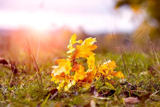 Gałąź dębu z suchymi żółtymi liśćmi w lesie na trawie w jasnym świetle słonecznym. opadłe liście w jesiennym lesie