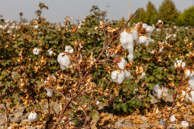 Gałąź dojrzała bawełna na bawełnianym polu, bawełny pole, uzbekistan