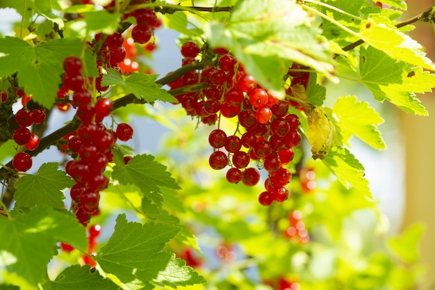 Gałąź dojrzałej czerwonej porzeczki w ogrodzie na zielonym tle