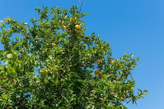 Gałąź drzewa cytrynowego