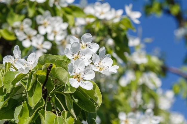 Gałąź drzewa gruszy w okresie kwitnienia wiosny na niewyraźne tło błękitnego nieba. selektywne skupienie