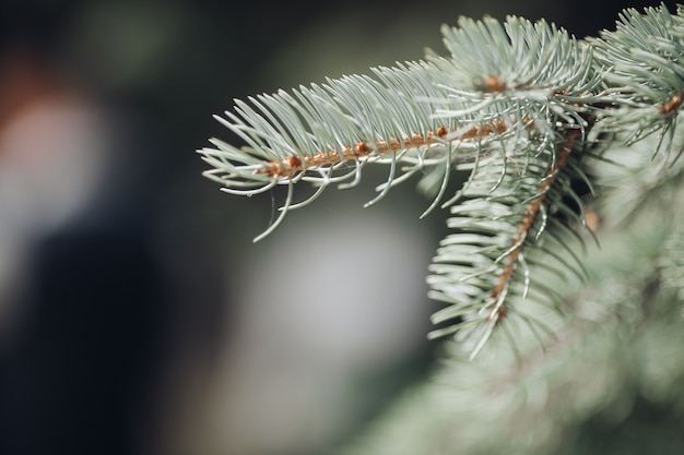 Gałąź drzewa iglastego z bliska. zbliżenie na boże narodzenie gałązki drzew iglastych w świetle dziennym. koncepcja bożego narodzenia.