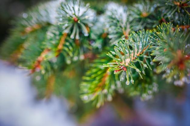 Gałąź drzewa iglastego