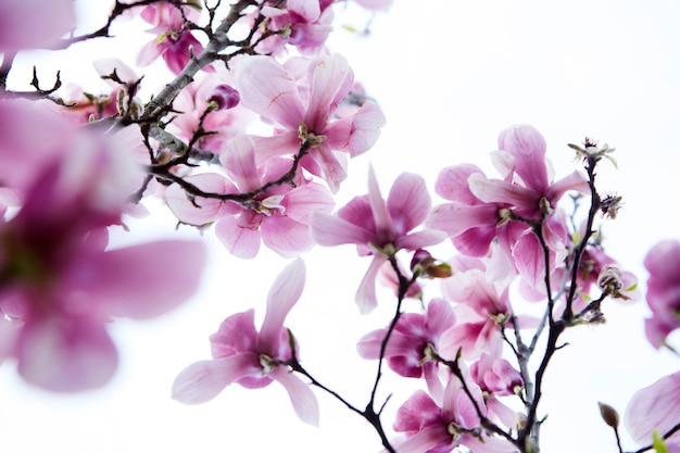Gałąź drzewa magnolii z różowymi kwiatami