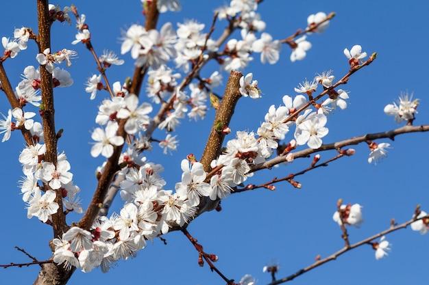 Gałąź drzewa morelowego w okresie kwitnienia wiosny na niewyraźne tło błękitnego nieba. selektywne skupienie