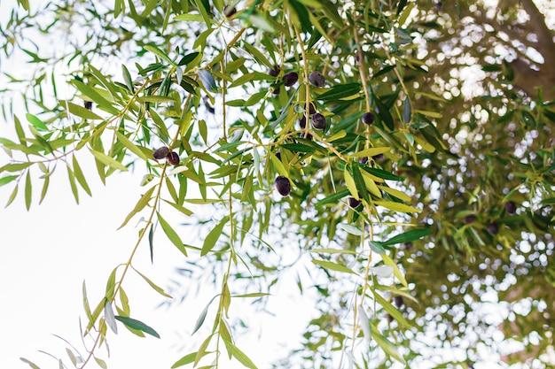 Gałąź drzewa oliwnego z owocami i liśćmi, naturalna żywność rolnicza