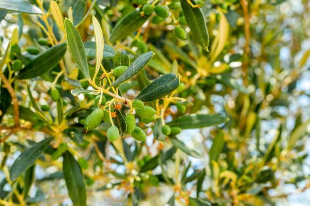 Gałąź drzewa oliwnego z owocami