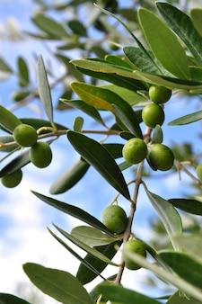 Gałąź drzewa oliwnego z zielonymi jagodami