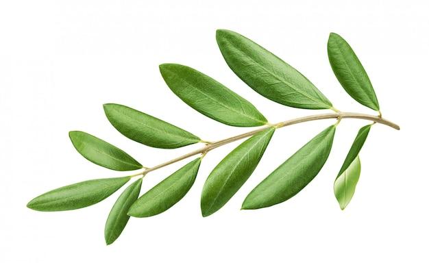 Gałąź drzewa oliwnego z zielonymi liśćmi odizolowywającymi