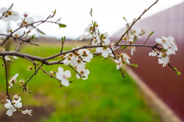 Gałąź drzewa owocowego z białymi delikatnymi kwiatami i młodymi liśćmi w ogrodzie