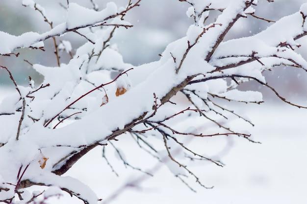 Gałąź drzewa pokryta jest grubą warstwą śniegu